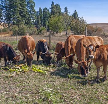 cows_MG_1430