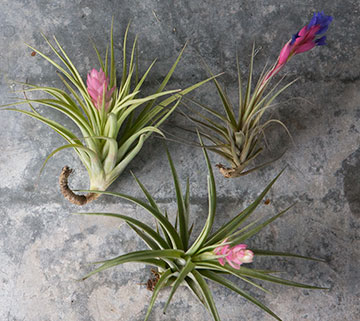 growing_jane_airplants-4660