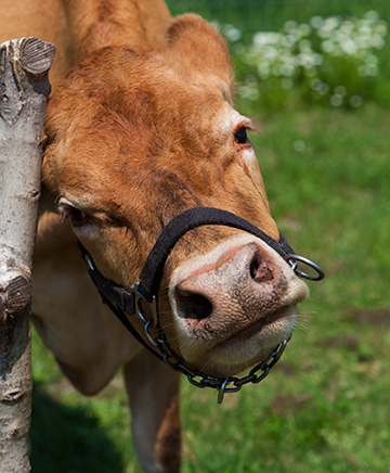 cows-6132