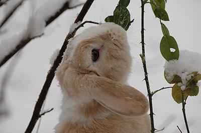 Rabbit_In_Snow