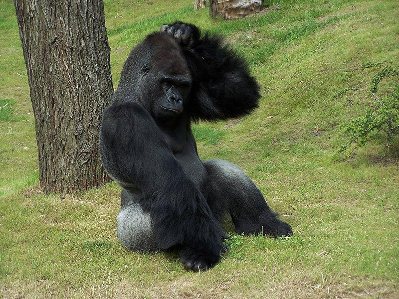 800px-Gorilla_Scratching_Head