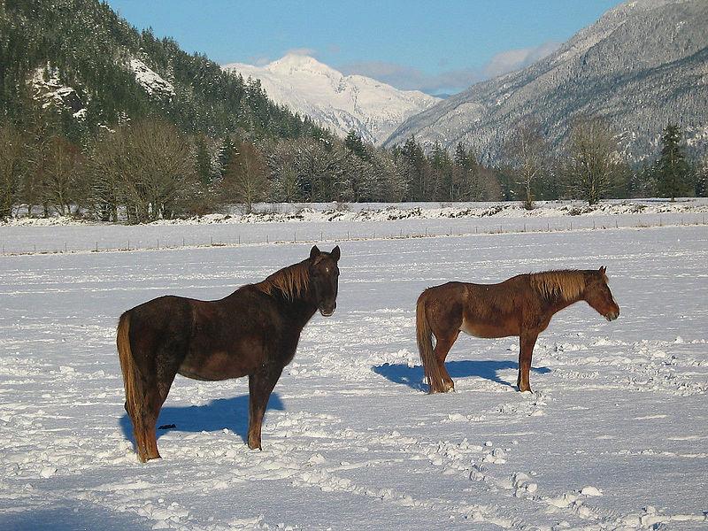 800px-Horses_in_snow,_2003
