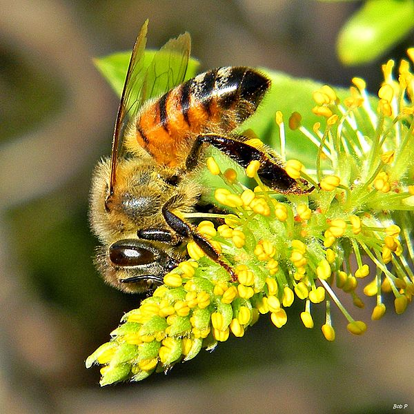 600px-Honey_Bees_in_Willow_Trees_(8345531686)