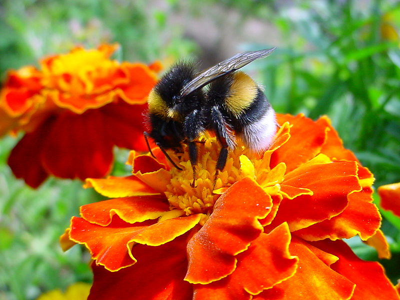 800px-A_bumble-bee_on_a_flower