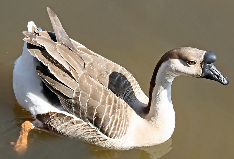 800px-Bump_on_Goose_Head