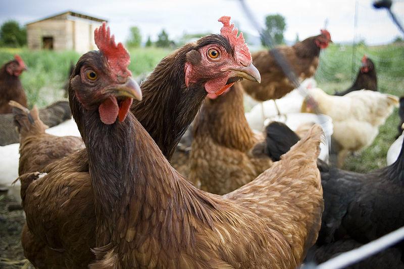 800px-Inquistive_hens