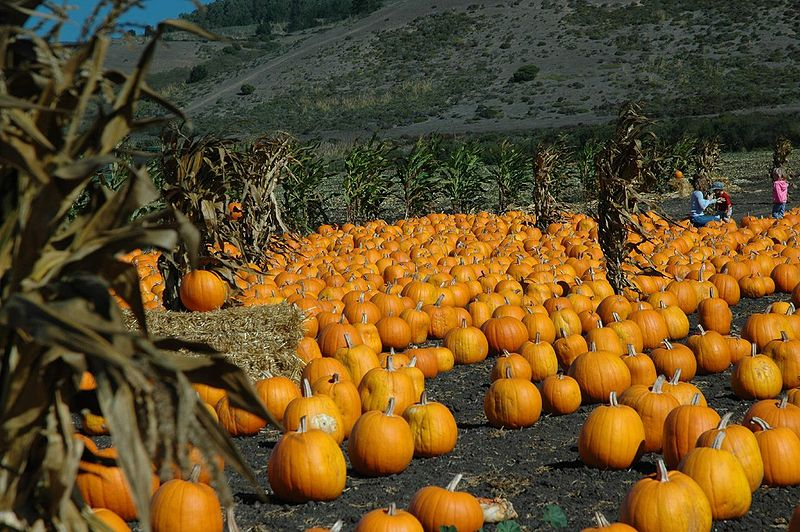 800px-Pumpkin_Patch
