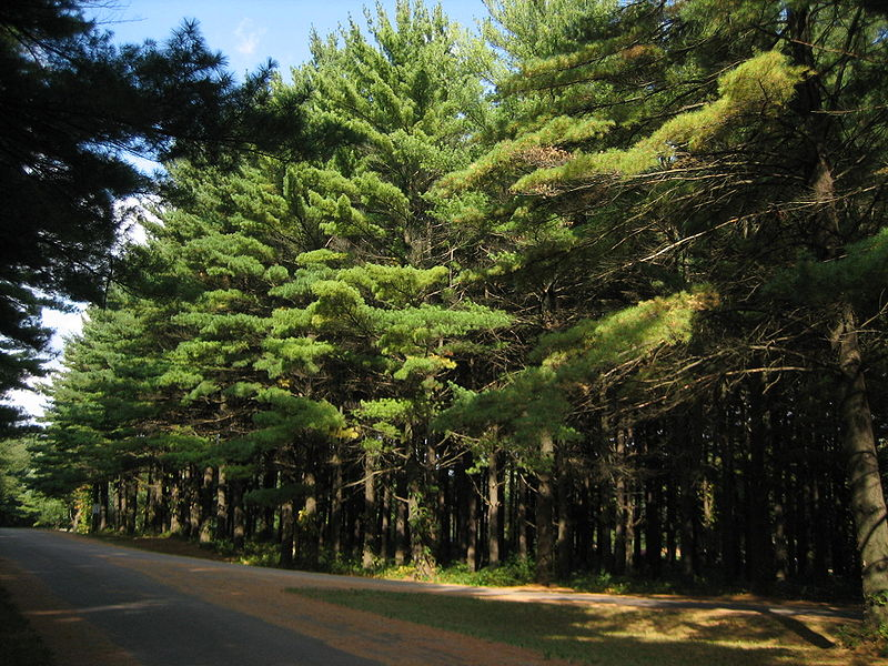 800px-White_Pines_Forest_State_Park_Pine_Stand5