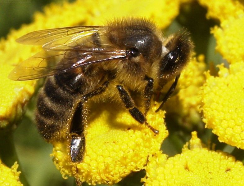 786px-HoneyBee