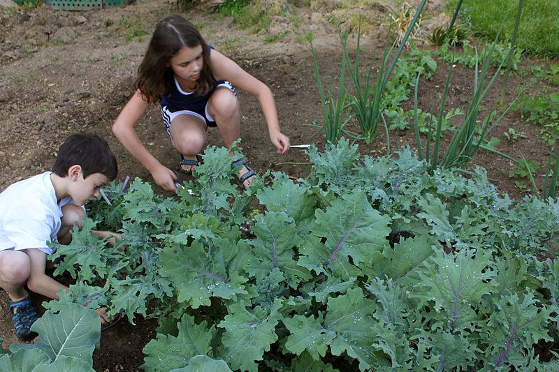 800px-Kids_harvesting_kale