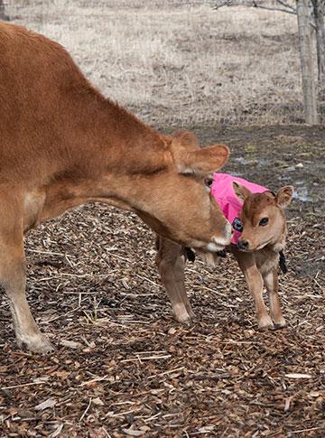 cow_love-6958