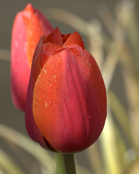 479px-Tulips_-_OR