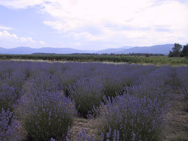 800px-Sequim_WA_Lavender_Farm