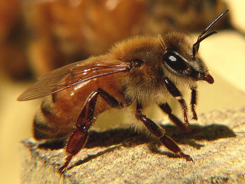 800px-Honeybee-27527-1