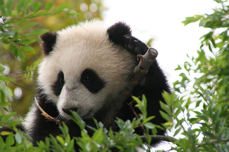 800px-Su_Lin_giant_panda_bear_cub_at_the_San_Diego_Zoo