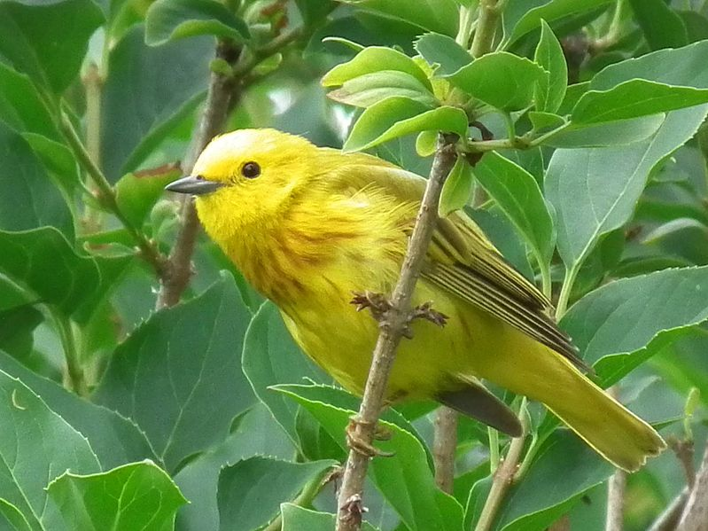 799px-Yellow_warbler