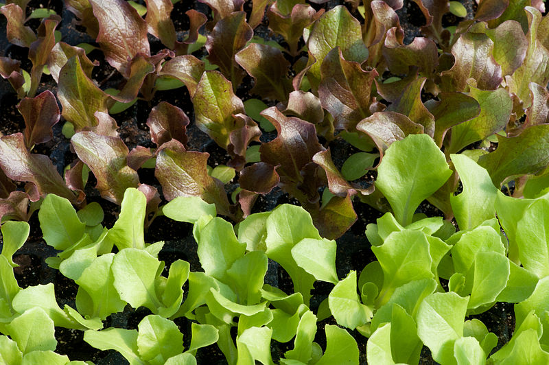 800px-Lettuce_after_two_weeks_(7185256562)