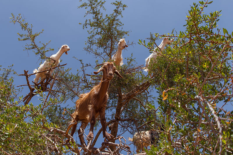 Goats_in_an_argan_tree