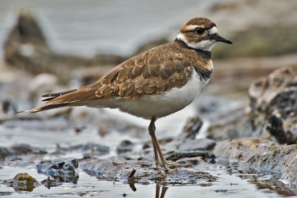 Killdeer, Albert Head Lagoon, Metchosin, Near Victoria, British Columbia
