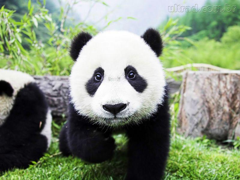 Panda_245254