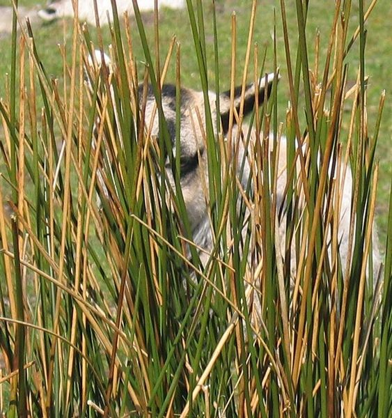 563px-Lamb_hiding_in_the_rushes__-_geograph_org_uk_-_1279285