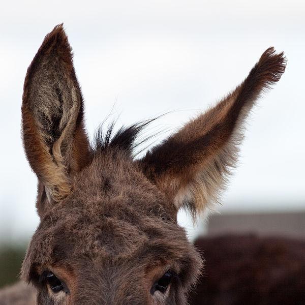 600px-Donkey's_ear