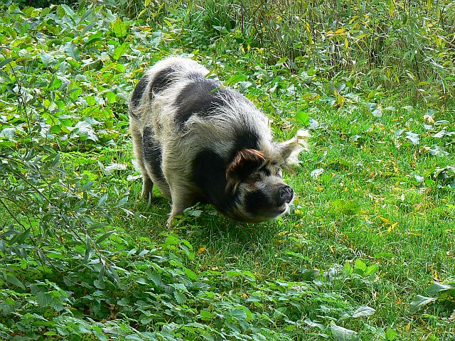 Pot-bellied_pig,_Winterbourne_Monkton_-_geograph_org_uk_-_1010504