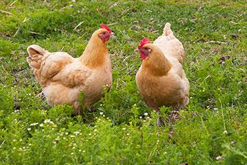chickens_4802