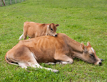 cow_sun_bathing_2245