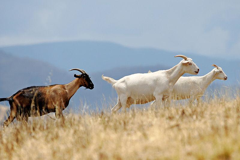 800px-Goats_climbing_hill