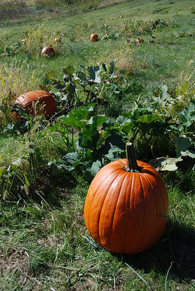 SK_Fall_Pumpkin_Patch_(5137268820)