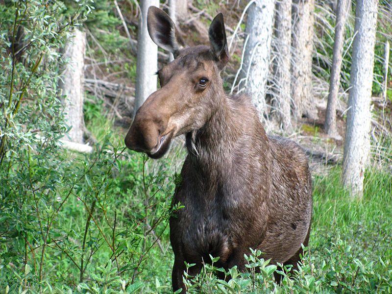 800px-Cow_moose