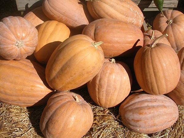 Dickenson-Pumpkin