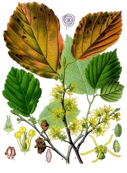 Hamamelis_virginiana_-_Köhler–s_Medizinal-Pflanzen-070