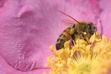 bee-rose