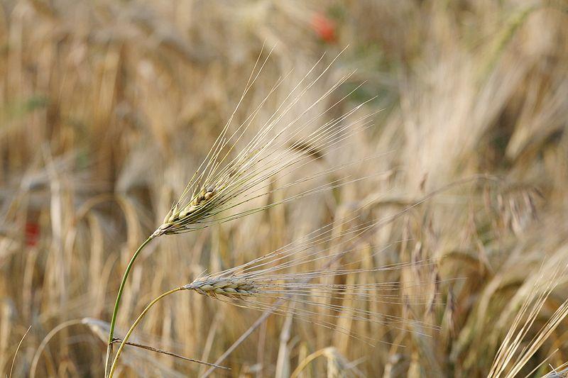 800px-Barley_fruit