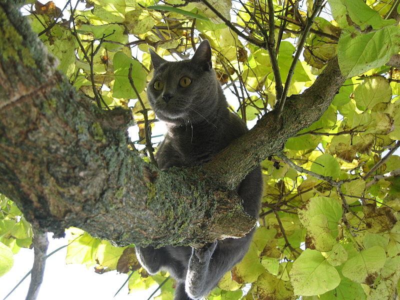 800px-Chartreux_cat_on_tree_-_Kartäuser_Katze_auf_Baum