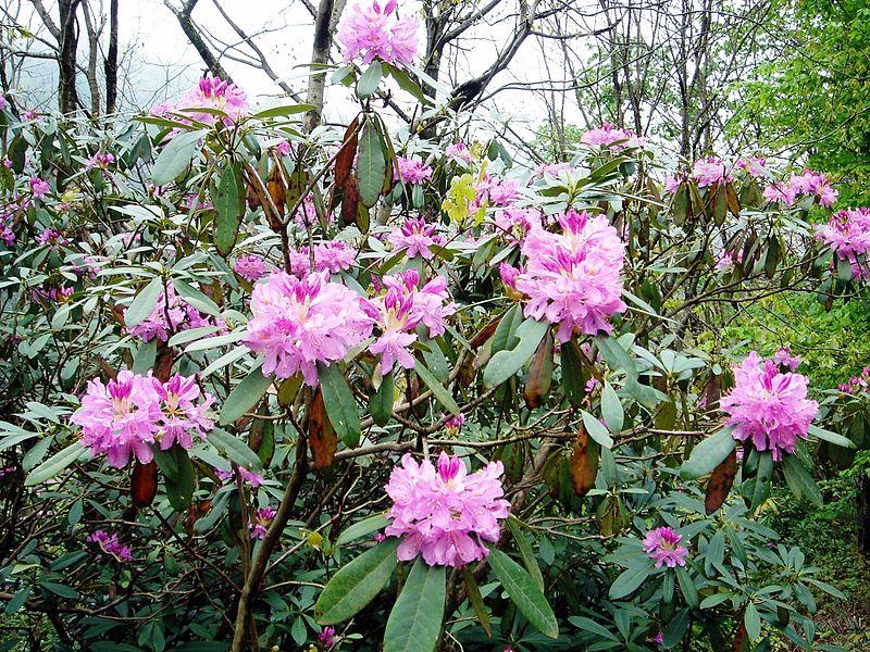 Rhododendron_ponticum_03630
