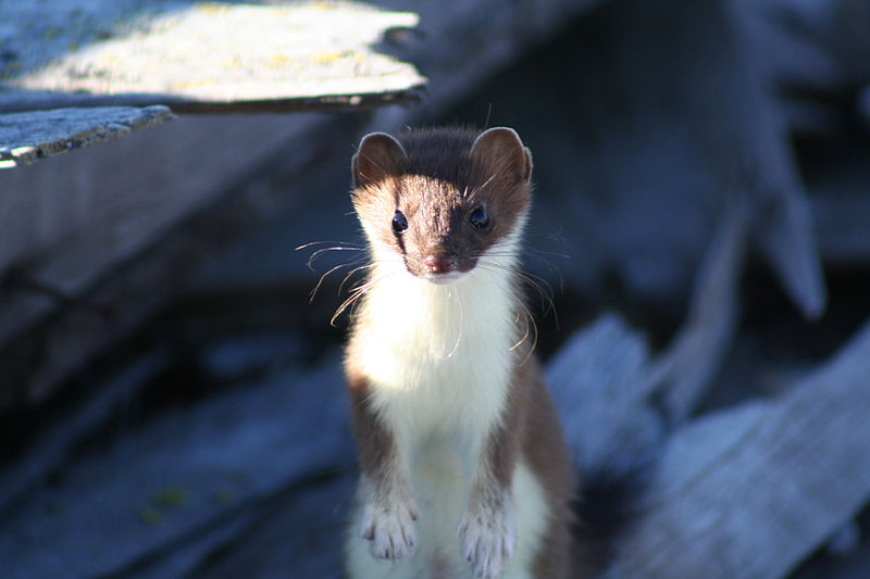 Short-tailed_Weasel_(9514000664)