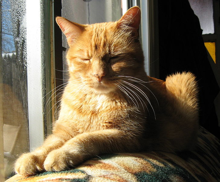 728px-Orange-tabby-cat-sun