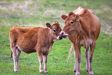 cows_mg_01971