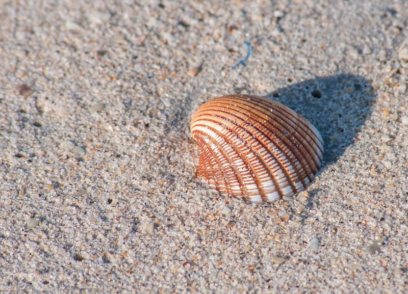 800px-Seashell_unknown_2