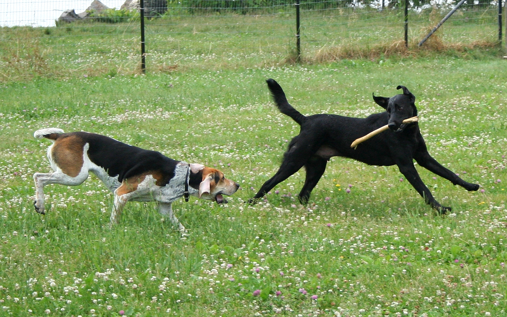 American_Foxhound_and_Labrador_Retriever_playing