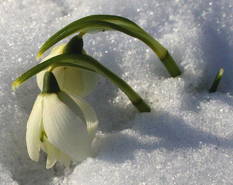 Schneeglöckchen_im_Februar___origWI