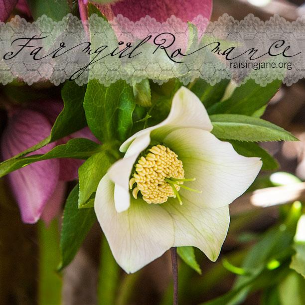 Lenten-Rose-0589