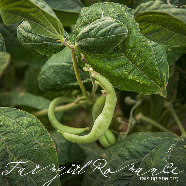 farm-romance-6184