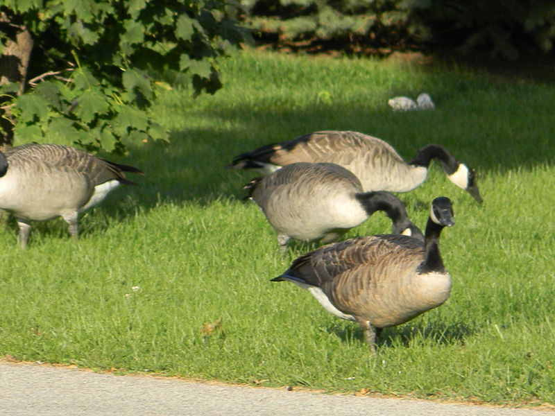 canadian_geese_lale